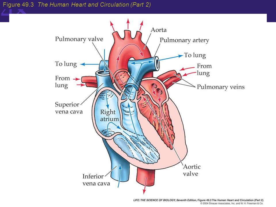 Gas Exchange And The Circulatory System In Animals Ppt Video