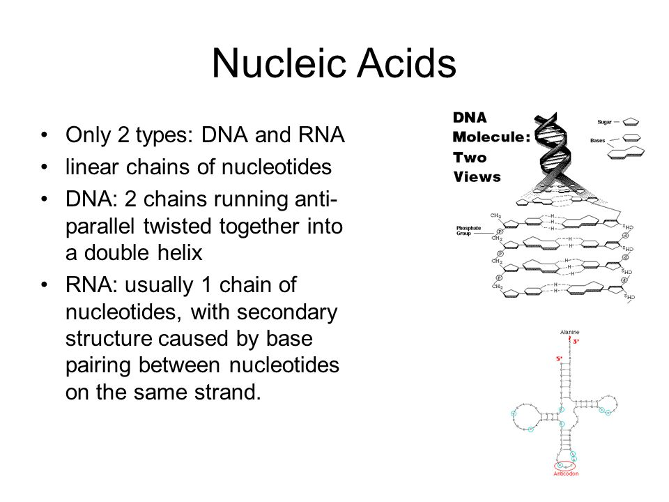 Nucleic Acids Only 2 types: DNA and RNA linear chains of nucleotides