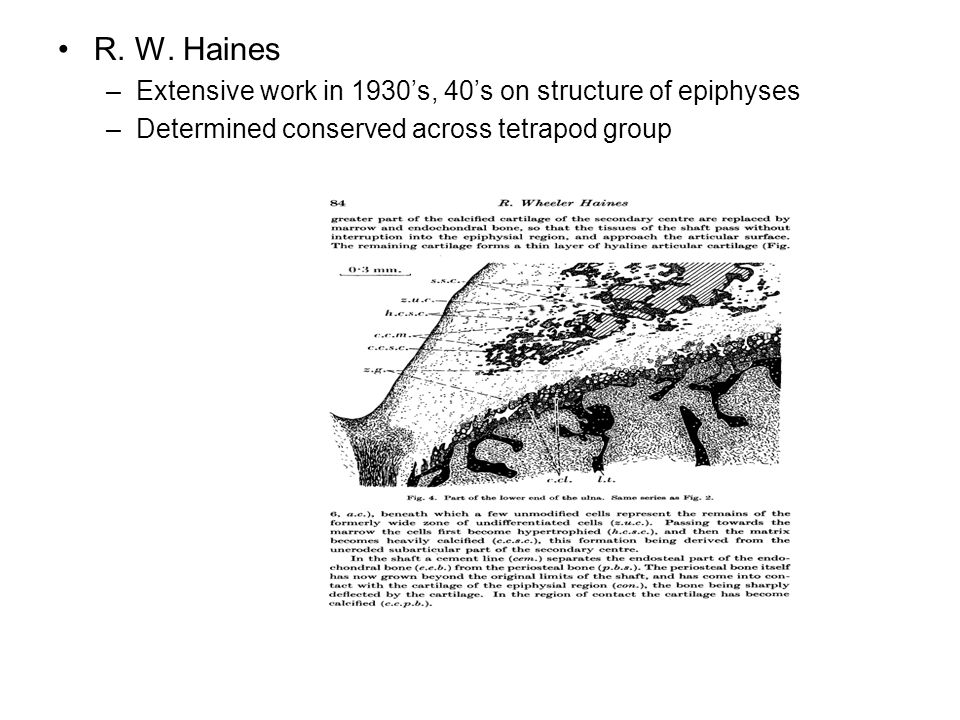 R. W. Haines Extensive work in 1930's, 40's on structure of epiphyses
