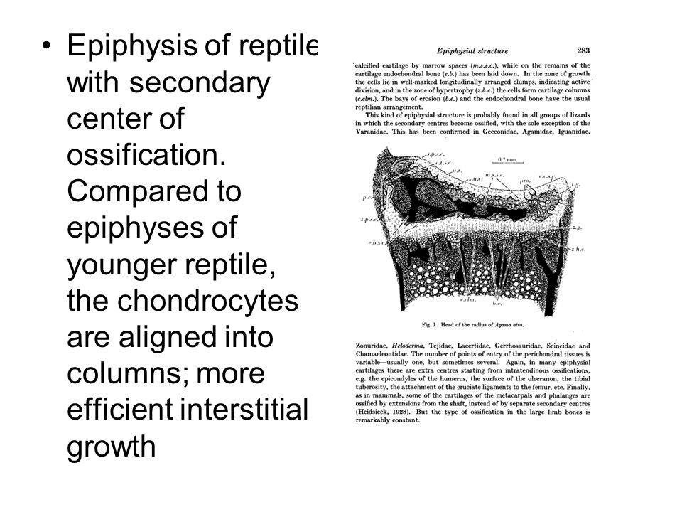 Epiphysis of reptile with secondary center of ossification