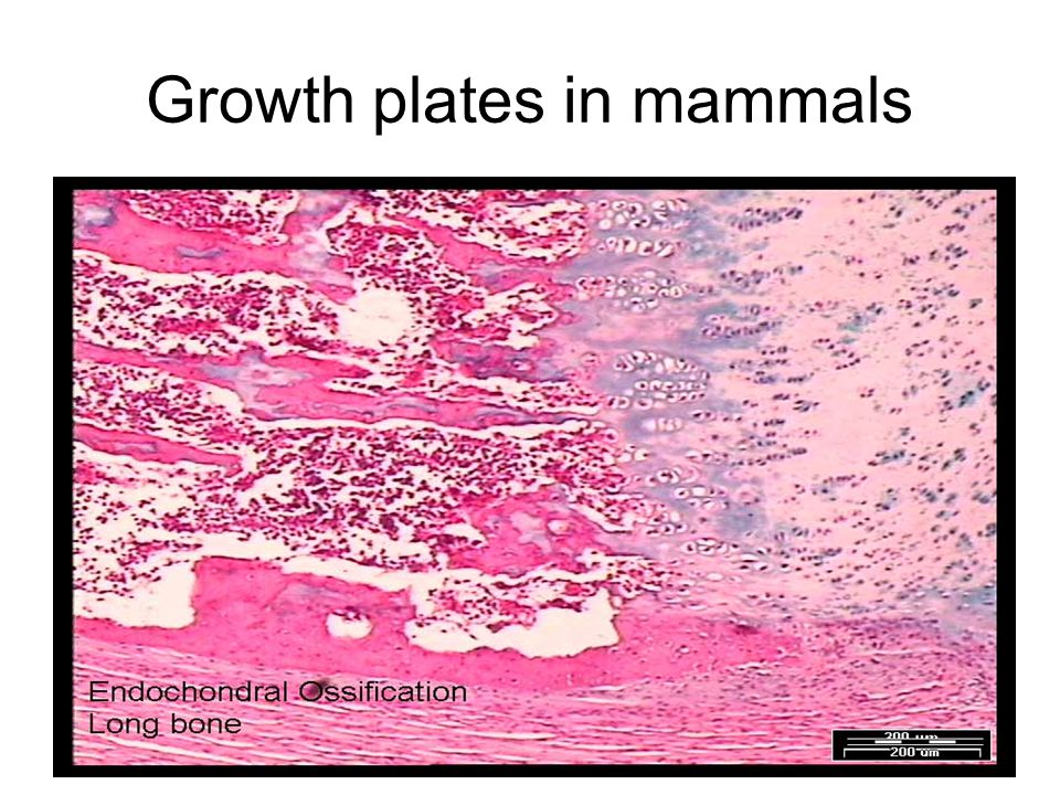 Growth plates in mammals