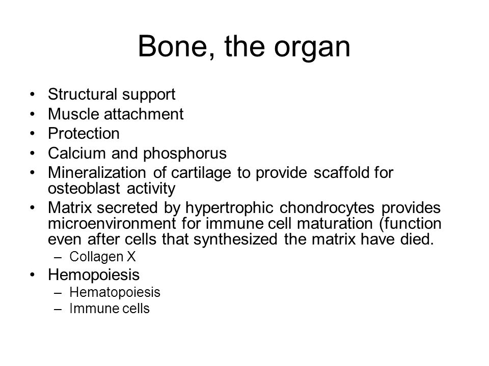 Bone, the organ Structural support Muscle attachment Protection