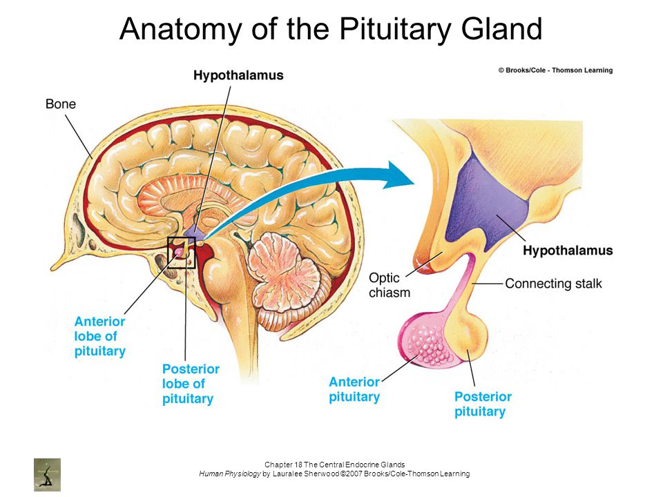 Images Of Pituitary Gland Anatomy Rock Cafe