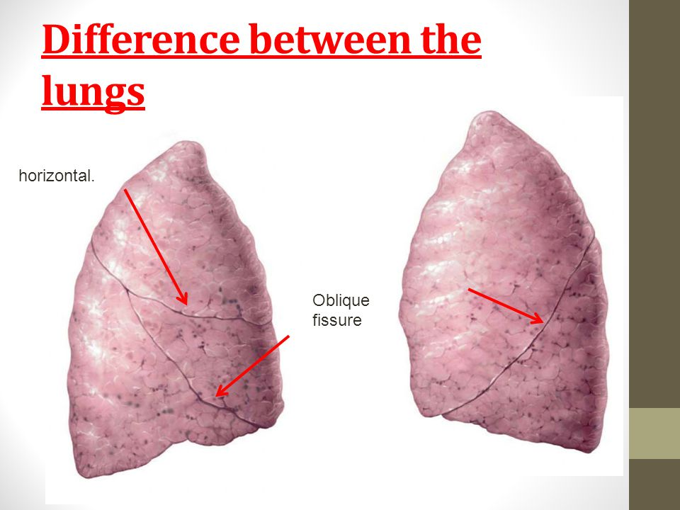 Difference between the lungs