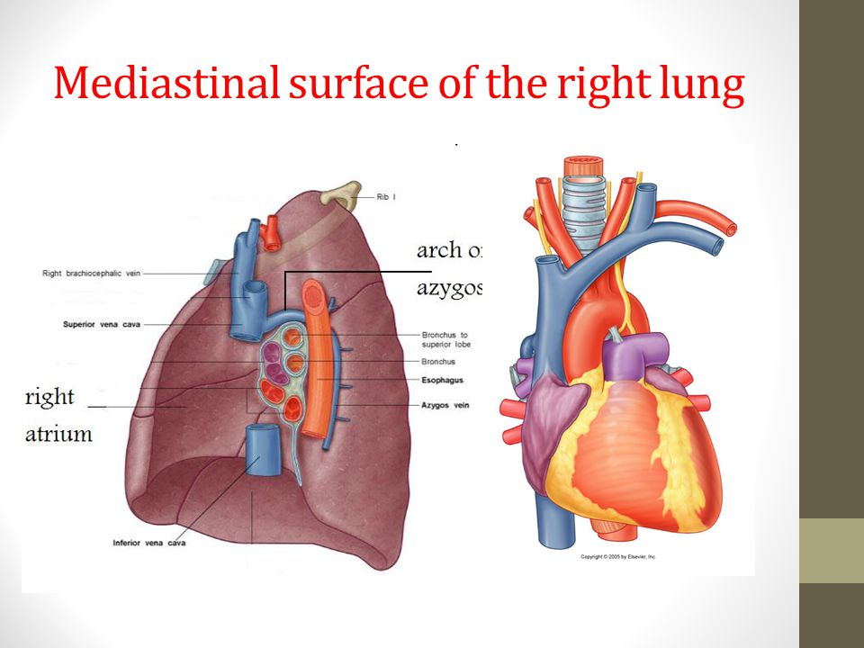 Mediastinal surface of the right lung