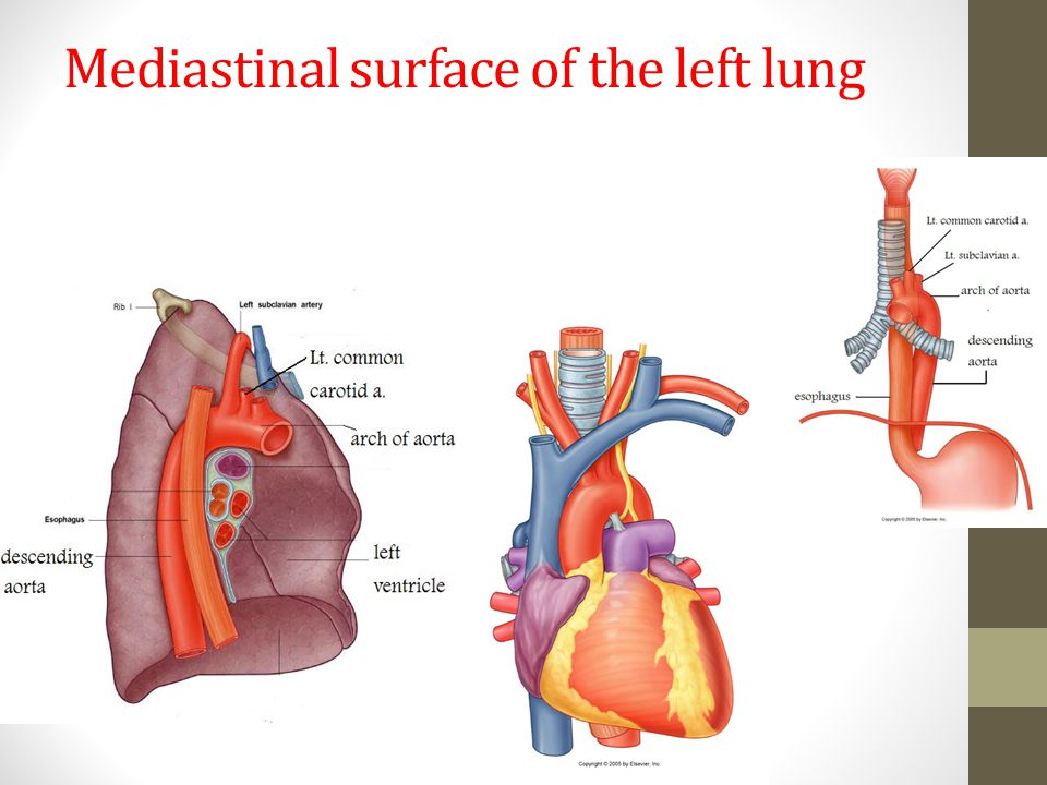 Mediastinal surface of the left lung