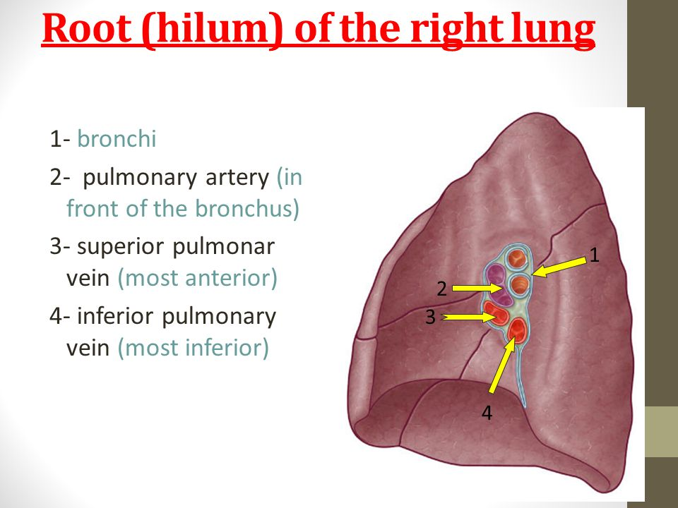 Root (hilum) of the right lung