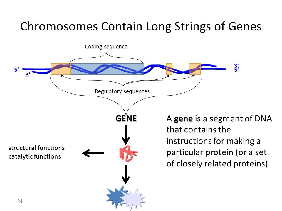 Cell biology molecular biology ppt download chromosomes contain long strings of genes ccuart Image collections