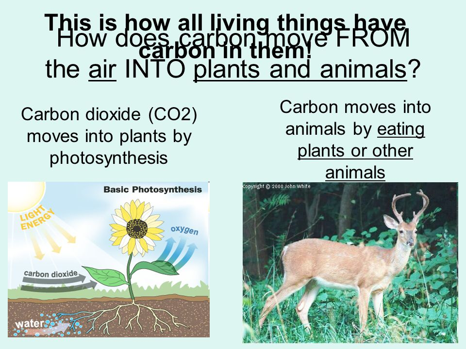How does carbon move FROM the air INTO plants and animals