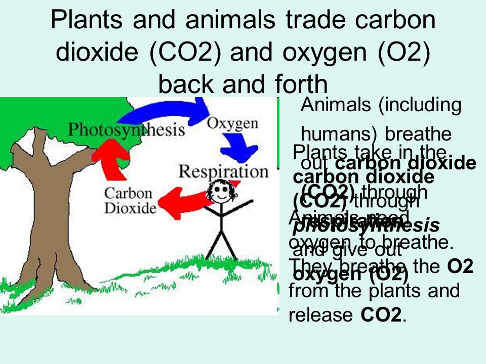 Plants and animals trade carbon dioxide (CO2) and oxygen (O2) back and forth