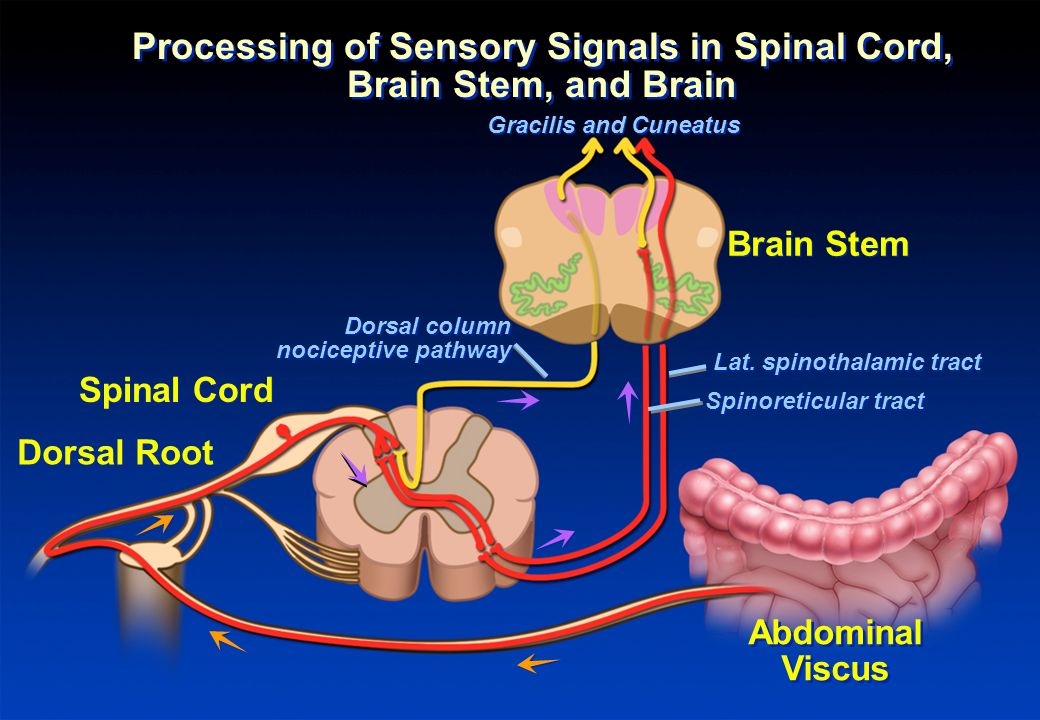 Processing of Sensory Signals in Spinal Cord, Brain Stem, and Brain