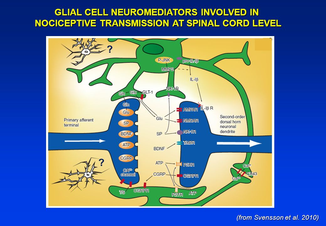 GLIAL CELL NEUROMEDIATORS INVOLVED IN