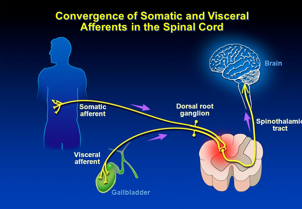 Convergence of Somatic and Visceral Afferents in the Spinal Cord