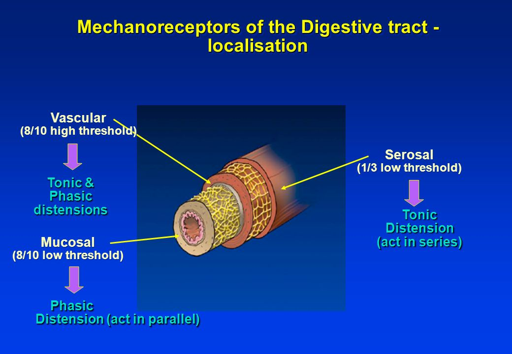 Mechanoreceptors of the Digestive tract - localisation