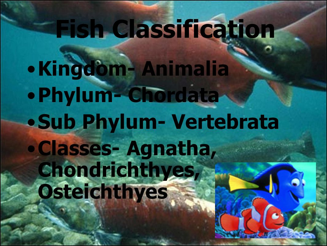 Image of: Sea Fish Classification Kingdom Animalia Slideserve Fish and Chordates Ppt Download