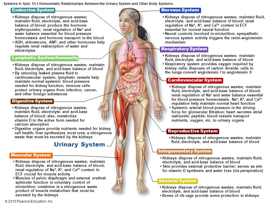 Figure 15 1a Organs of the urinary system  - ppt video