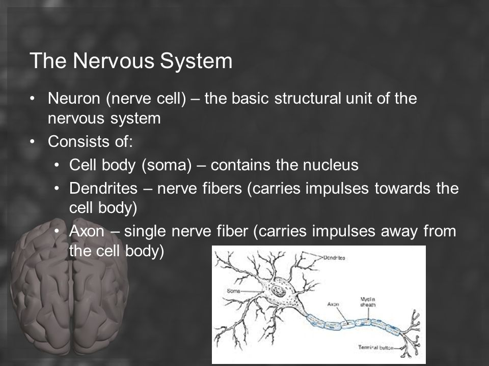 The Nervous System Neuron (nerve cell) – the basic structural unit of the nervous system. Consists of: