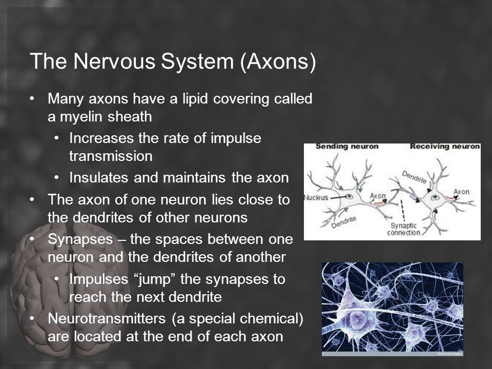 The Nervous System (Axons)