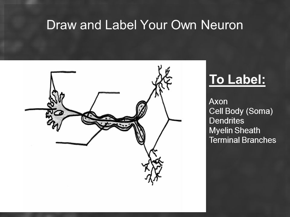 Draw and Label Your Own Neuron
