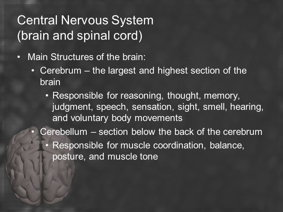 Central Nervous System (brain and spinal cord)