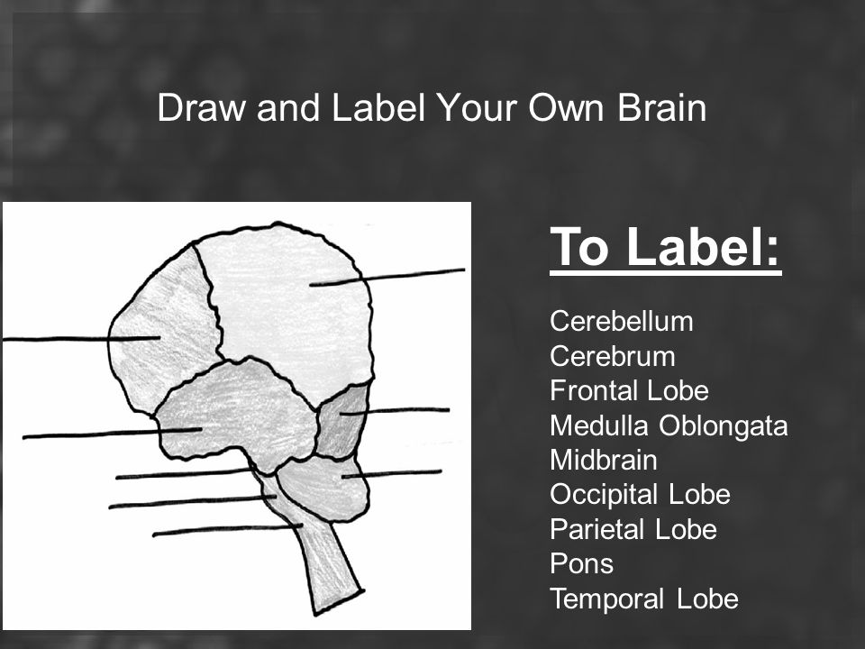 Draw and Label Your Own Brain
