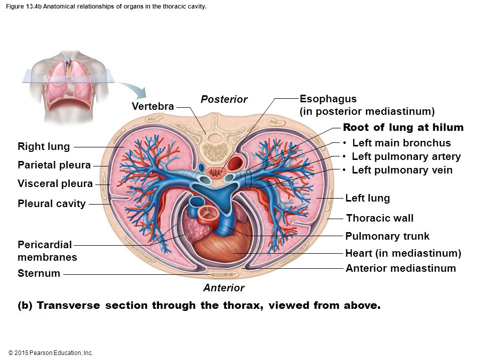 Colorful Thoracic Organs Anatomy Sketch - Anatomy And Physiology ...