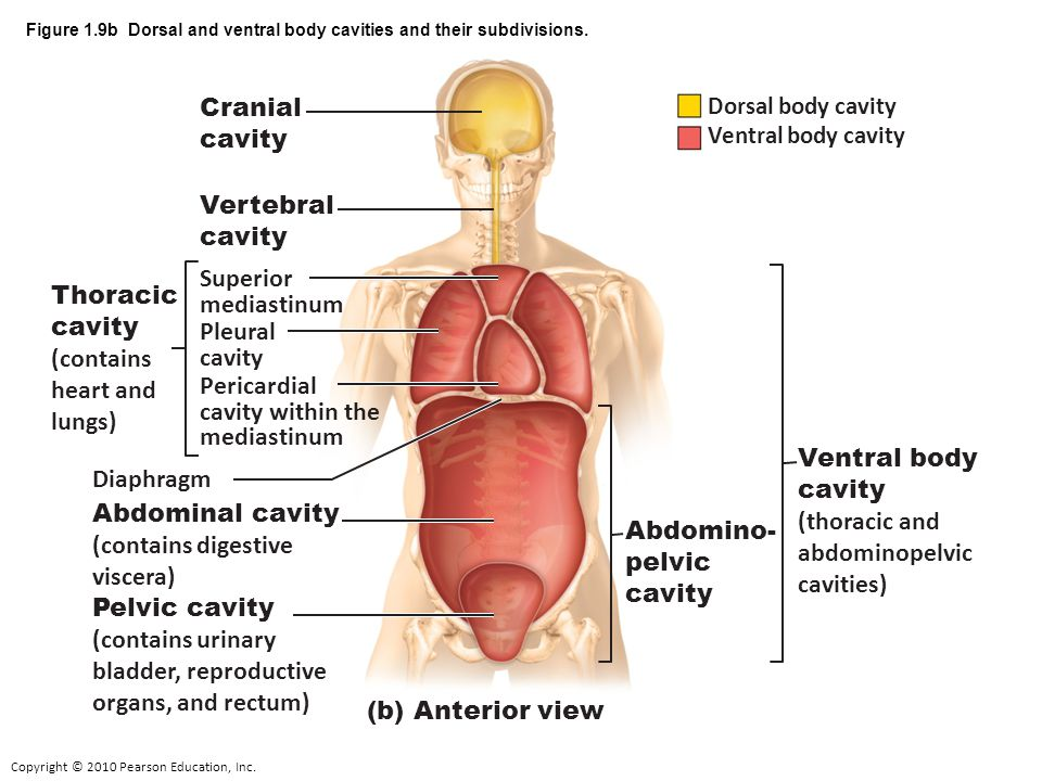 Dorsal And Ventral Body Cavities Diagram Block And Schematic