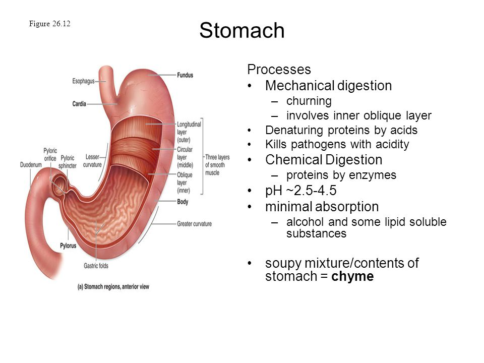 Figure 26.1 Digestive Tract. - ppt video online download