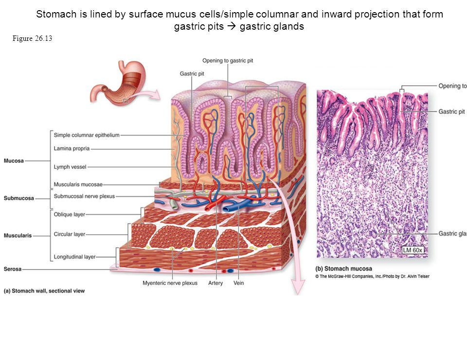 Stomach Gastric Pits With Diagram Layers Of The Stomach Wiring