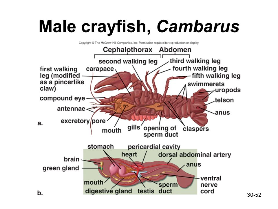 Diagram Of Male Crayfish - Complete Wiring Diagrams •