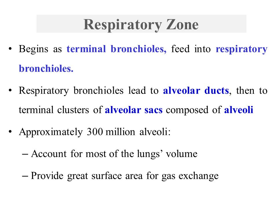Respiratory Zone Begins as terminal bronchioles, feed into respiratory bronchioles.