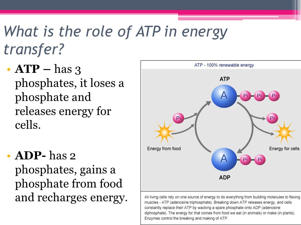 biology eoc review ppt download rh slideplayer com 9 2 Answer Key Modern Biology modern biology study guide answer key energy transfer