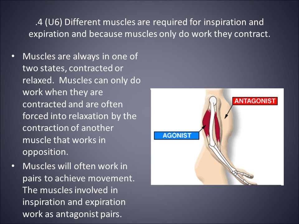 .4 (U6) Different muscles are required for inspiration and expiration and because muscles only do work they contract.