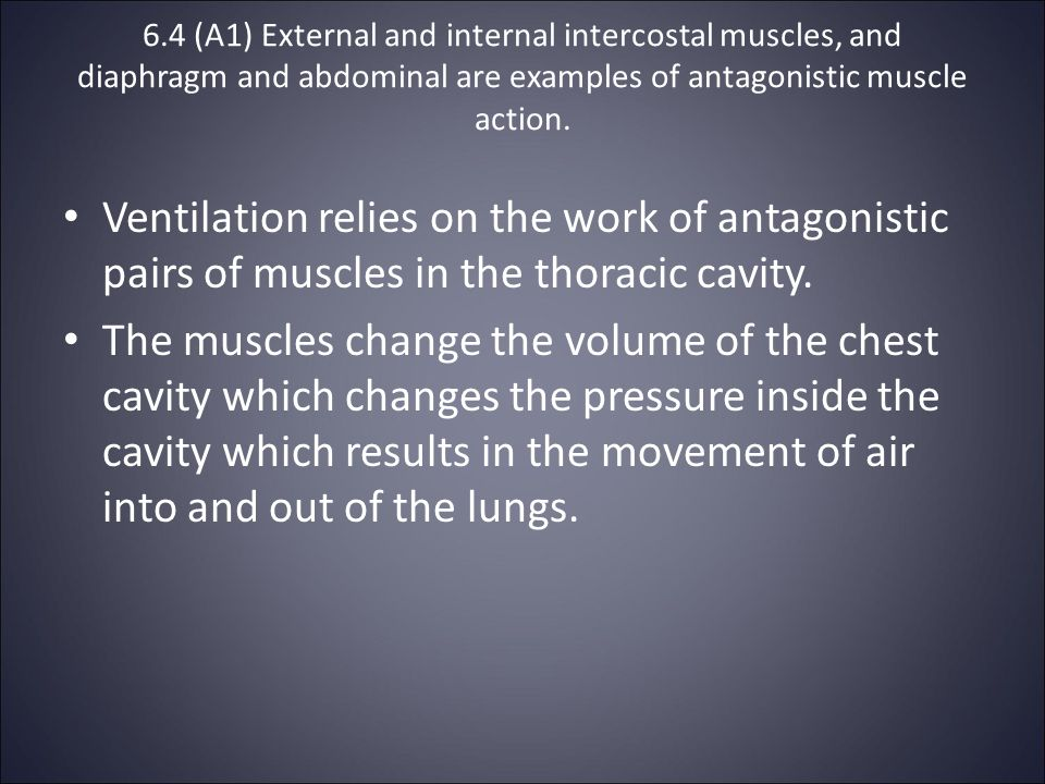 6.4 (A1) External and internal intercostal muscles, and diaphragm and abdominal are examples of antagonistic muscle action.