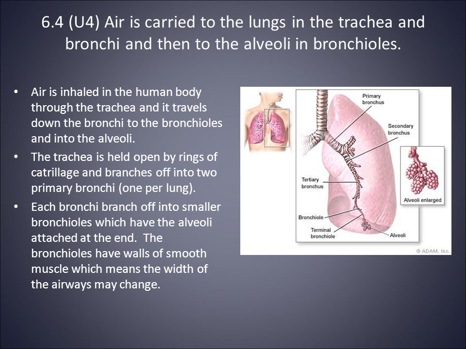 6.4 (U4) Air is carried to the lungs in the trachea and bronchi and then to the alveoli in bronchioles.