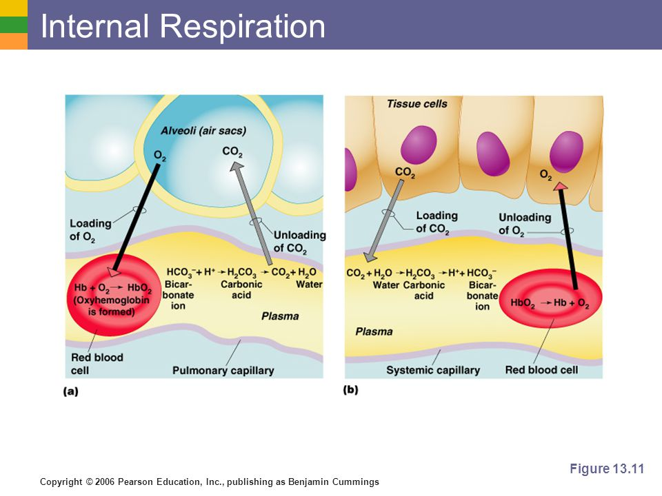 Internal Respiration Figure 13.11