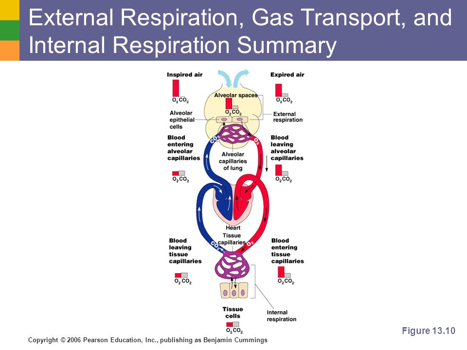 External Respiration, Gas Transport, and Internal Respiration Summary