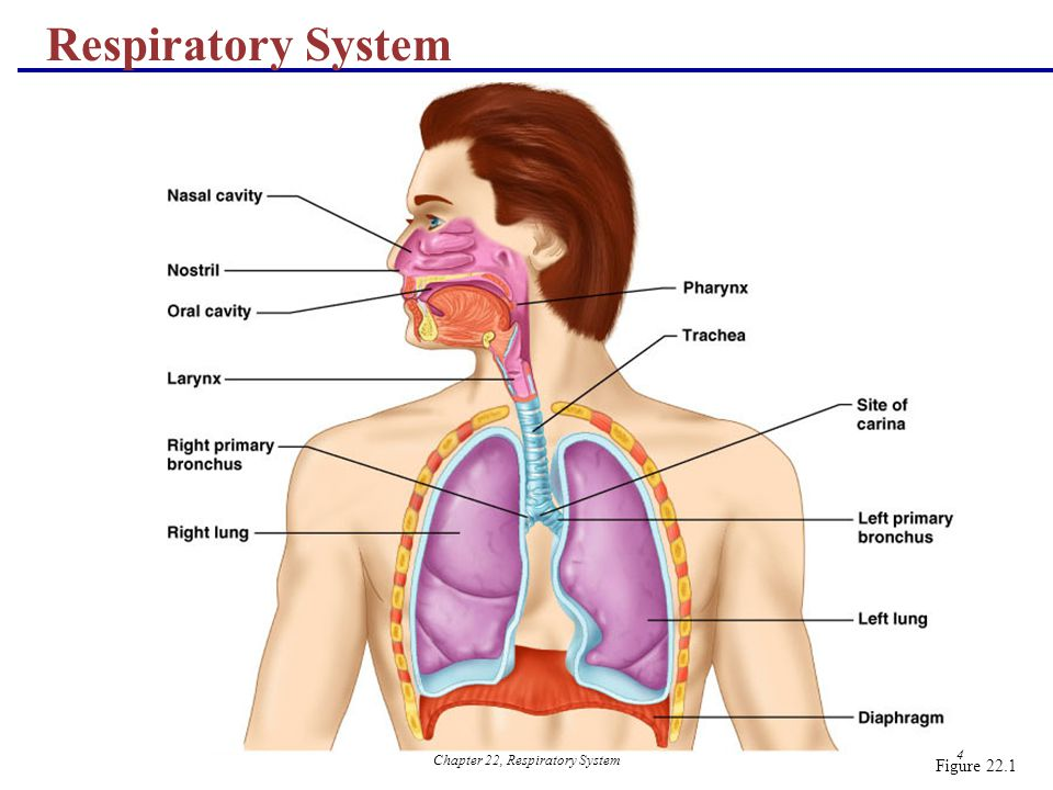 The Respiratory System Anatomy - ppt download