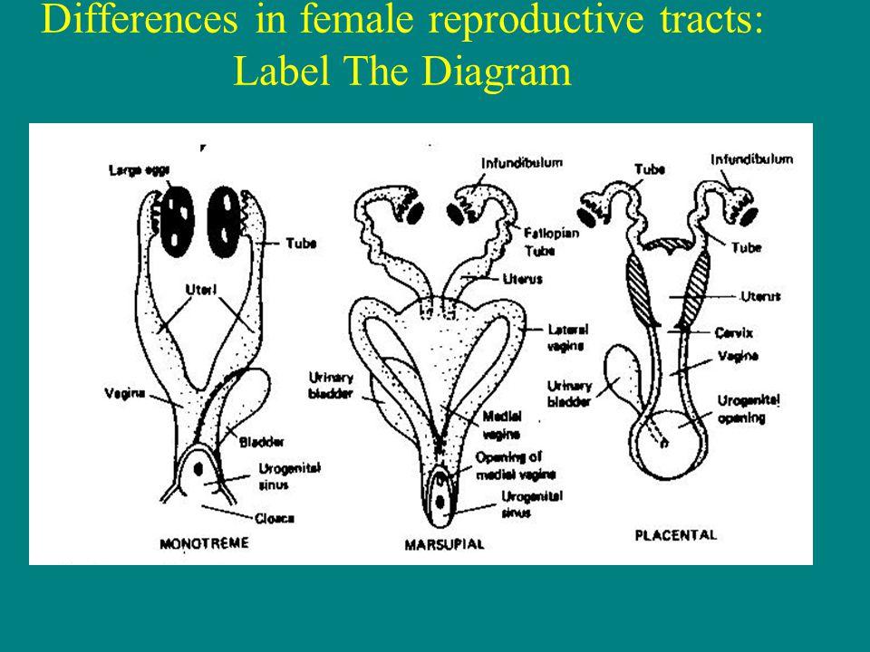 Marsupial Reproduction Diagram - Download Wiring Diagrams •