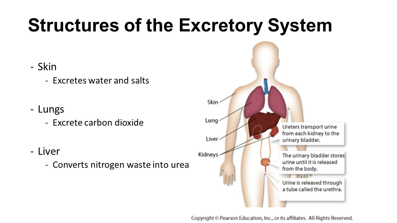 Chapter 304 Excretory System Ppt Video Online Download