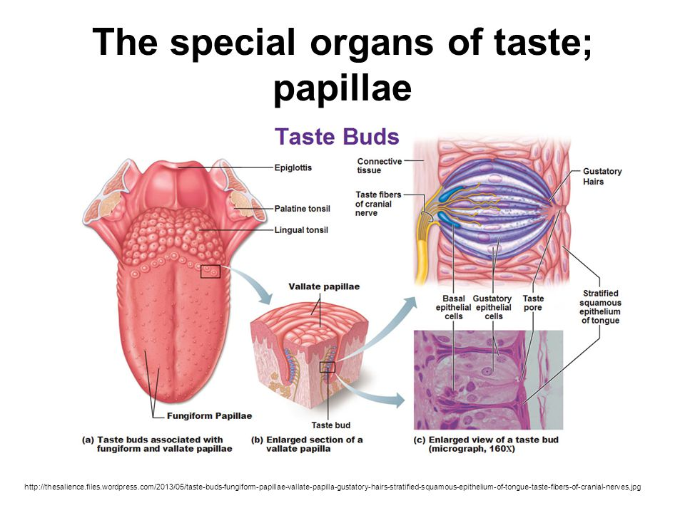 The special organs of taste; papillae