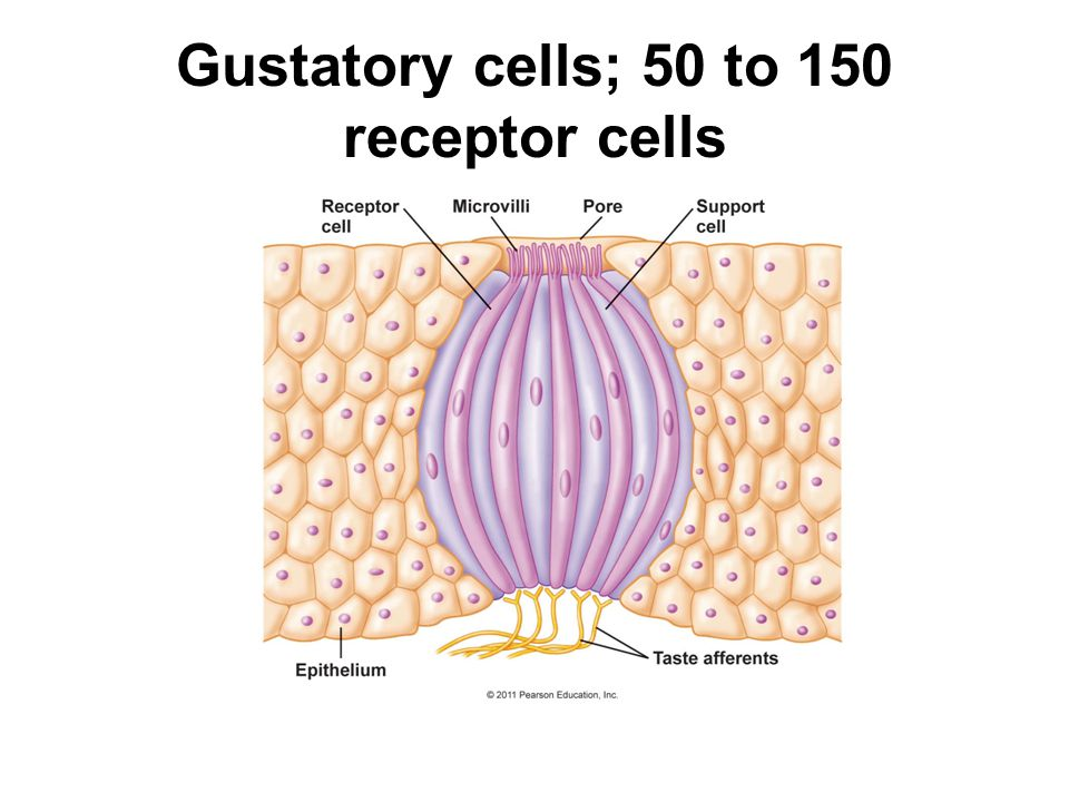 Gustatory cells; 50 to 150 receptor cells