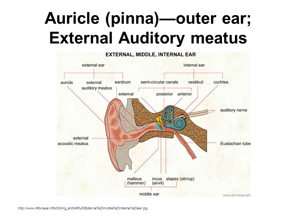 Auricle (pinna)—outer ear; External Auditory meatus