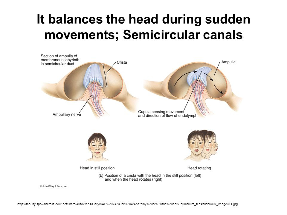 It balances the head during sudden movements; Semicircular canals