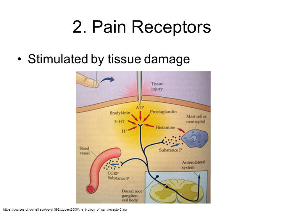 2. Pain Receptors Stimulated by tissue damage