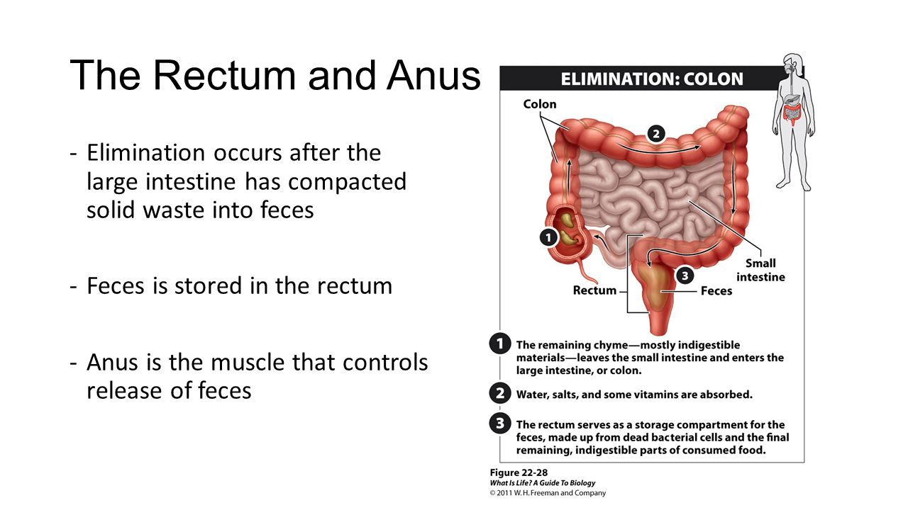The Rectum and Anus Elimination occurs after the large intestine has compacted solid waste into feces.