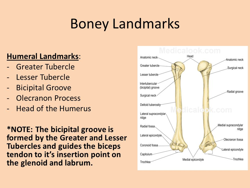 Shoulder Anatomy And Physiology Review Ppt Video Online Download