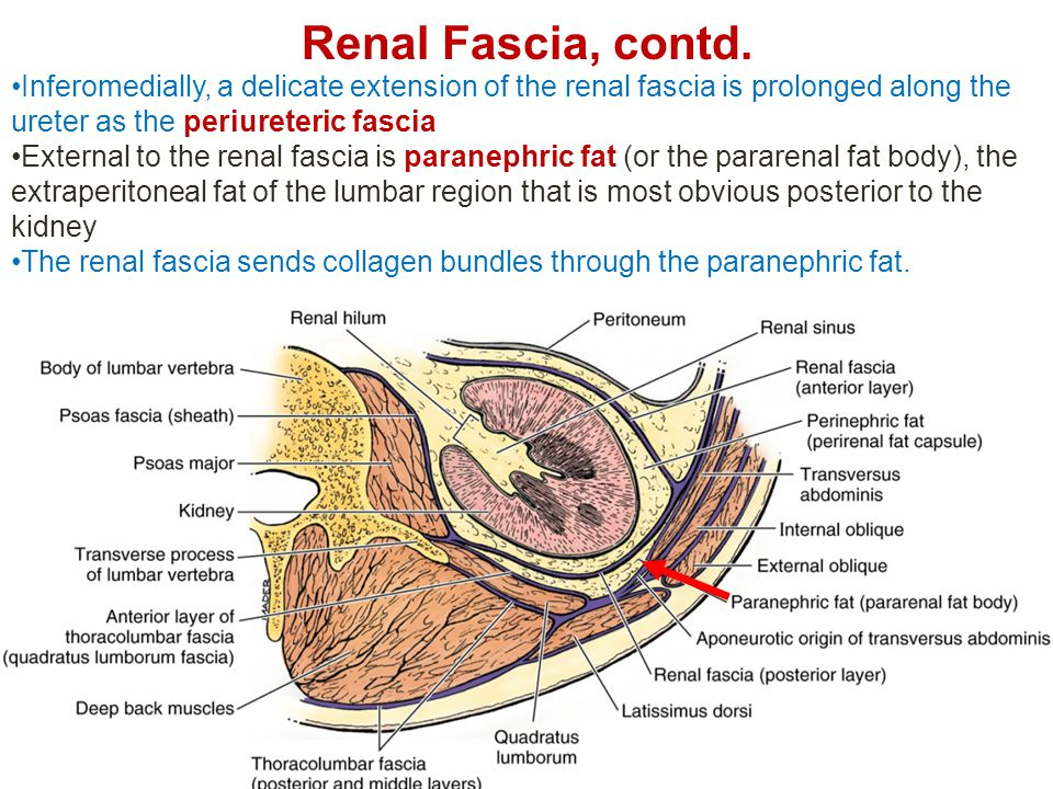 Renal Fascia, contd. Inferomedially, a delicate extension of the renal fascia is prolonged along the ureter as the periureteric fascia.