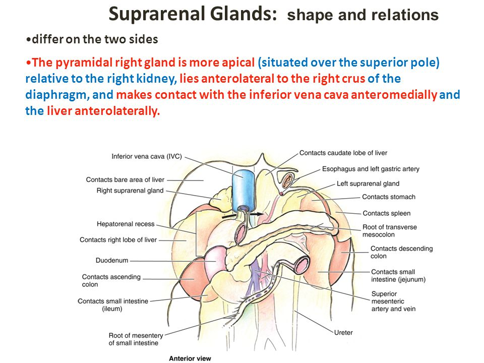 Suprarenal Glands: shape and relations