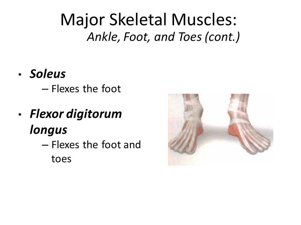 Major Skeletal Muscles - ppt video online download